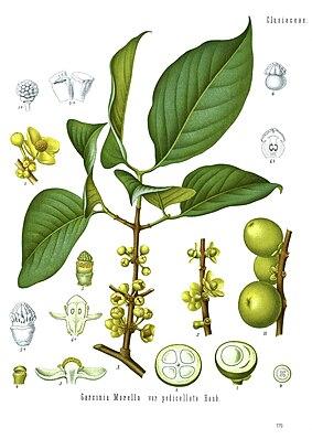 Garcinia morella, Illustration aus Koehler 1887.