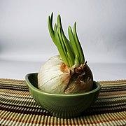 Garlic growing.jpg