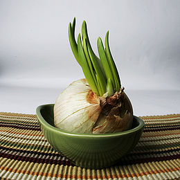 Garlic growing.jpg