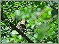 Gartengrasmücke (41772862305).jpg