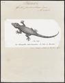 Gecko fascicularis - 1700-1880 - Print - Iconographia Zoologica - Special Collections University of Amsterdam - UBA01 IZ12300093.tif