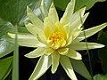 Gelbe Seerosenblüte.jpg