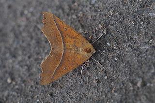 <i>Odontopera</i> Genus of moths