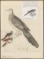 Geopelia humeralis - 1700-1880 - Print - Iconographia Zoologica - Special Collections University of Amsterdam - UBA01 IZ15600361.tif