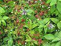 Geranium robertianum album - Flickr - peganum.jpg
