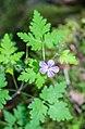 Geranium robertianum in Haute-Savoie (3).jpg