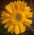 Gerbera flower yellow.JPG
