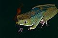 Giant Leaf Frog (Phyllomedusa bicolor) (10461062633).jpg