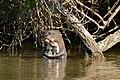 Giant Otter (Pteronura brasiliensis) eating some fish ... (31802623996).jpg