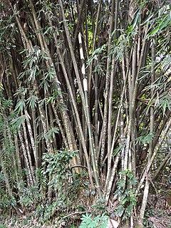 <i>Gigantochloa atter</i> species of plant