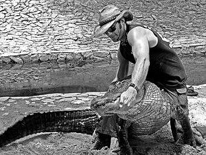 Alligator wrestling - Chris Gillette wrestling an American alligator at Everglades Holiday Park, Ft. Lauderdale, Florida
