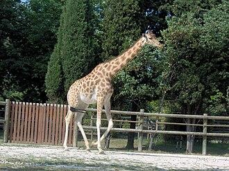 Northern giraffe - Image: Giraffa camelopardalis antiquorum (Vincennes Zoo) 2