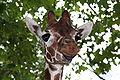 Giraffe-01 (xndr).jpg