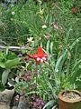 Gladiolus cardinalis (5911887374).jpg