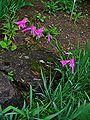 Gladiolus italicus 001.JPG
