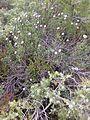 Globularia alypum Valmagne.jpg