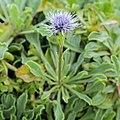 Globularia incanescens-IMG 6802.jpg