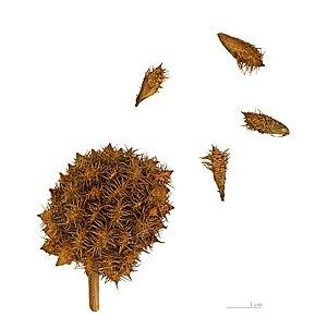 Glycyrrhiza - Glycyrrhiza echinata Fruits and Seeds  - MHNT