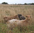 Goats in rough grazing - geograph.org.uk - 576842.jpg