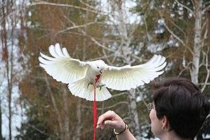 Tanimbar corella - Pet flying in a harness