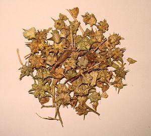 Tribulus terrestris - Dried Tribulus terrestris nutlets