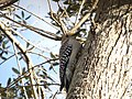 Golden-Fronted Woodpecker 0001.jpg
