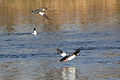 Goldeneyes in flight.jpg