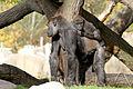 Gorilla riding on a back (4043637958) (3).jpg