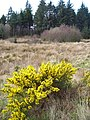 Gorse and Bog in Dalbeattie Forest - geograph.org.uk - 392777.jpg