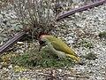 Grünspecht Picus viridis Weibchen-006.jpg