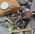 Grammostola porteri (Chilean tarantula) in Los Molles, Chile next to a Chilean coin to compare their size).jpg