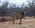 Grandpa's old mule (2155612884).jpg