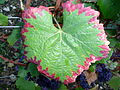 Grape leaf showing nutrient deficiency.jpg