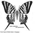 Graphium antiphates epaminondas.jpg
