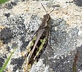 Grasshopper (31819521513).jpg