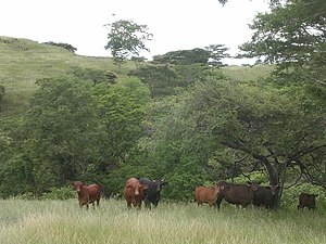 Grassy savanna and Bali Cattle in wet season, Daudere, Lautem, Timor-Leste (23 Apr 2006).jpg