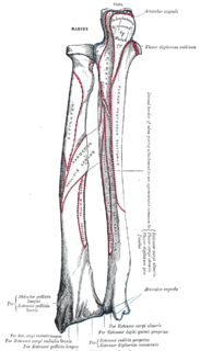 Extrinsic extensor muscles of the hand