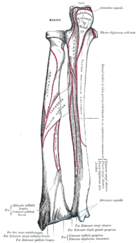 Bones of left forearm - post. view