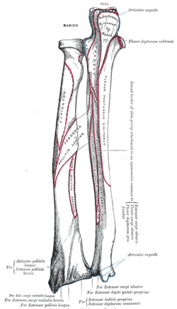 process above the glenoid cavity that permits muscle attachment