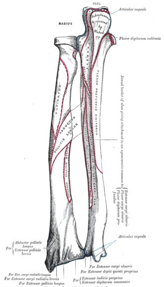 Extensor pollicis longus muscle - Image: Gray 214
