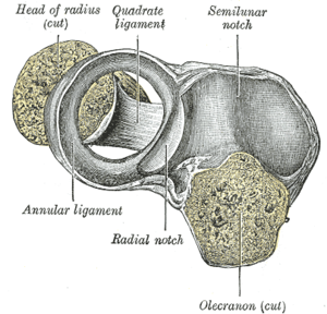Annular ligament of radius - Annular ligament of radius, from above. The head of the radius has been sawn off and the bone dislodged from the ligament.