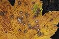 Gray Mold Spot - Cristulariella depraedans (38624097542).jpg