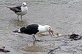 Great Black-backed Gull (8151629424).jpg