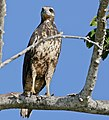 Great Black Hawk (Buteogallus urubitinga) immature (30997046464).jpg
