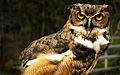Great Horned Owl - Flickr - Andrea Westmoreland.jpg