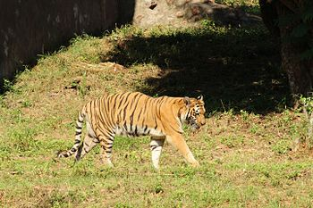 Great Indian Tiger 2 at Indira Gandhi Zoological Park, Visakhapatnam.jpg