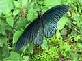Great Mormon (Papilio memnon) (7105858555).jpg