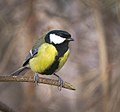 Great tit (32876129855).jpg