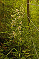 Greater Butterfly Orchid (Platanthera chlorantha) - geograph.org.uk - 847133.jpg