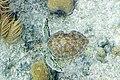 Green turtle Chelonia mydas (4677167442).jpg